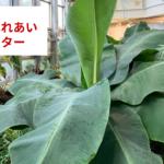 植物園@東京 渋谷区ふれあい植物センター バナナは草だった!ポインセチアはブルーや紫も綺麗!