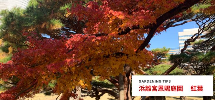 浜離宮恩賜庭園の紅葉を見に行ってきました。1本の大きいモミジが圧巻!スタンプラリーも